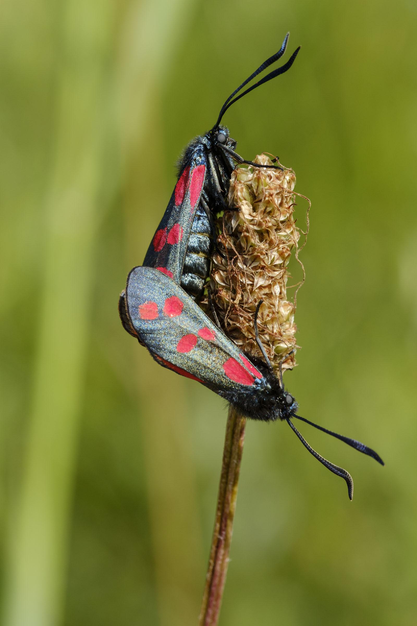 sint jacob vlinders