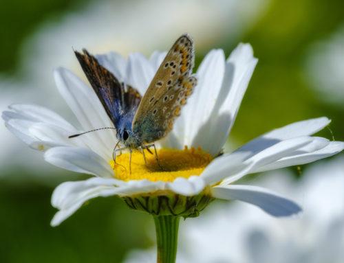 Vlinder drinkt nektar van magriet