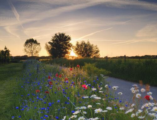 Limburgse bloeiende akkerranden